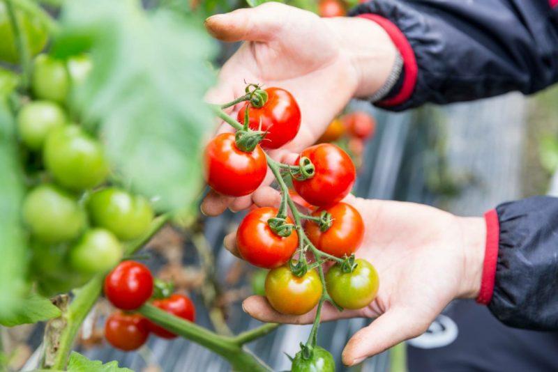 【房付きトマト】
